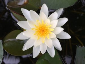 Long Distance Energy Session Water Lilly